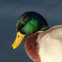 wild-ducks-1857270_640.jpg