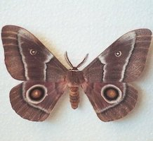 Adult_Emperor_Moth.jpg