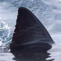 SharkFin-1024x768.jpg